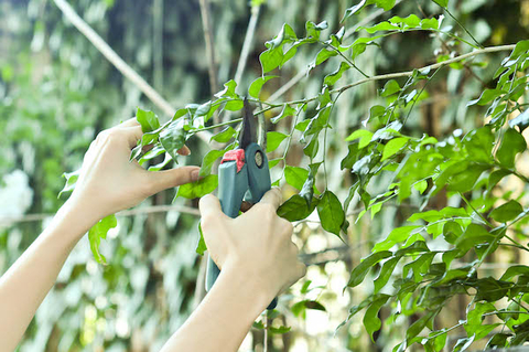 A close up picture of our crew member trimming a bush for a client in Tuscaloosa, AL